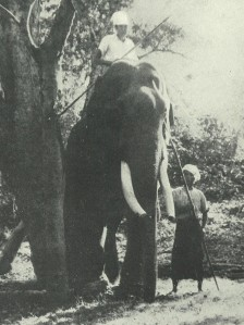Photograph of a Burmese elephant labelled 'dangerous' by Williams