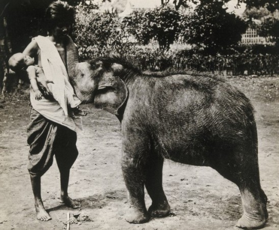 'A newly discovered and captured white elephant, Siam; suckled by a human being' J. H. Evans (Credit: Wellcome Library, London)