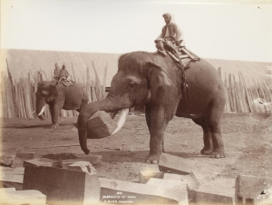 A happy worker? Source: 'Elephants at Work', Philip Klier c.1907