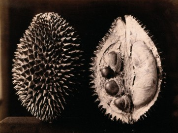 A durian (Durio zibethinus): an entire and sectioned fruit. Credit: Wellcome Library, London.