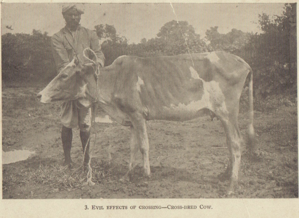 Crossbred Cow
