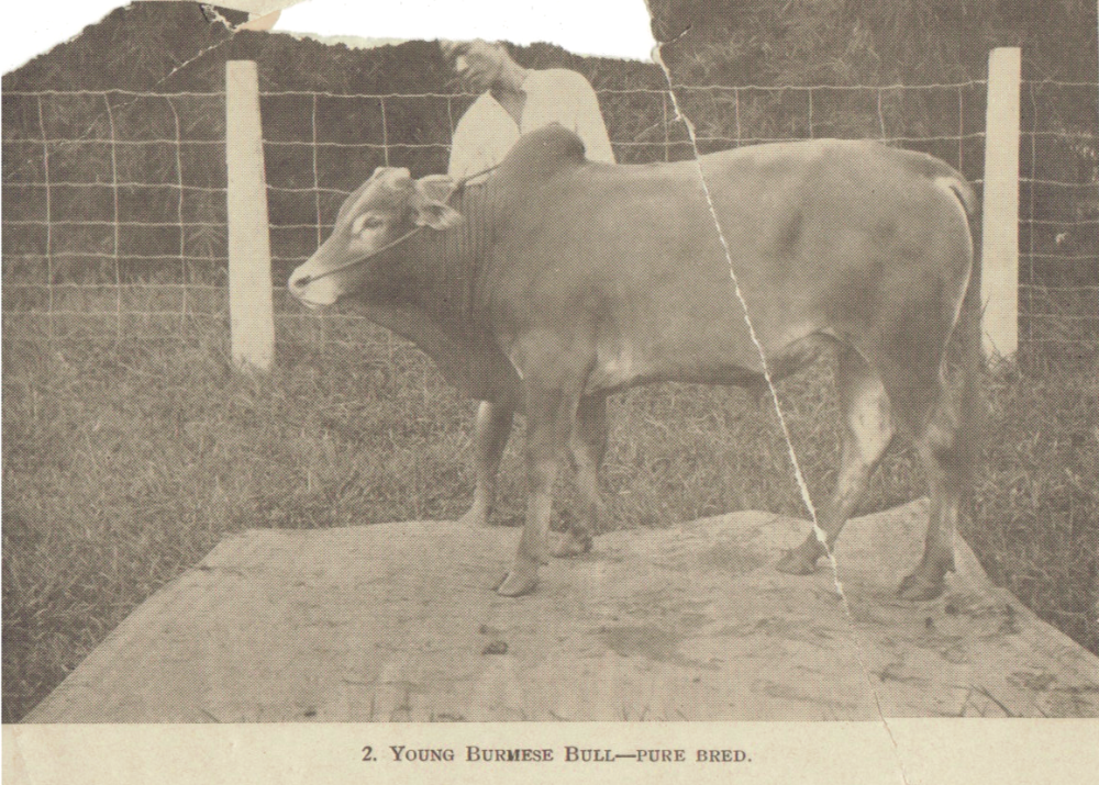Pure Bred Bull