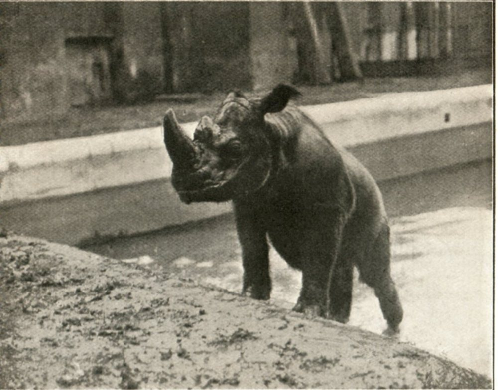 A young Jackson at the London Zoo. Source: http://www.zoochat.com/43/sumatran-rhino-jackson-144566/