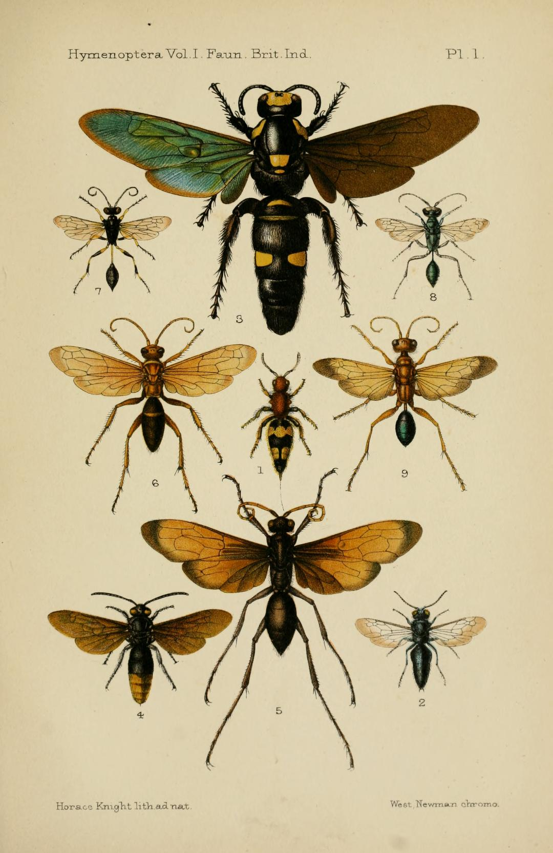 Illustration from C. T. Bingham, Hymenoptera, vol. 1: Wasps and Bees (Calcutta, 1897)