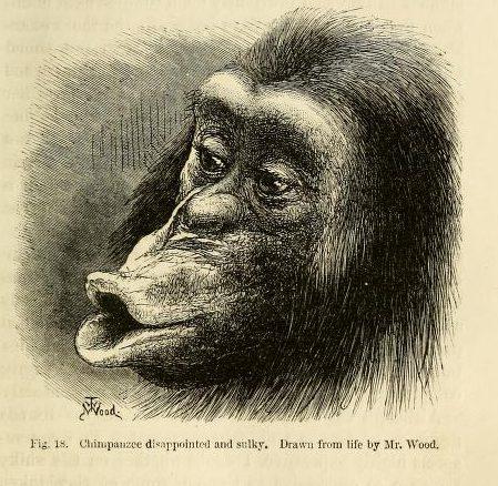 A sulking chimp