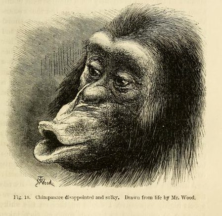 A sulking chimp